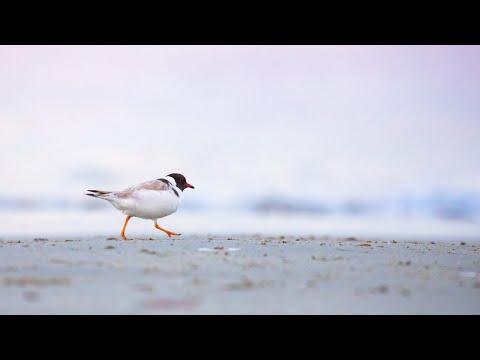 Beach-nesting Birds Project