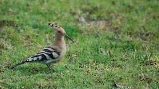 Curs d'identificació d'aus. 6 - Dels coloms fins al puput