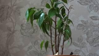 фикус. ficus, rubber plant