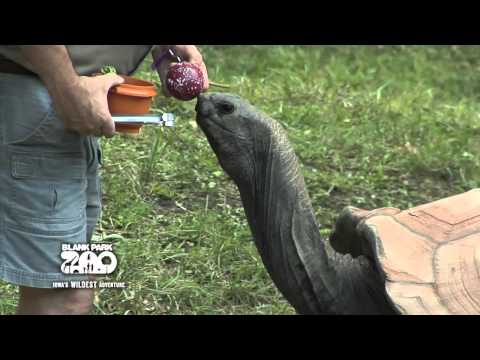 Aldabra Tortoise Training