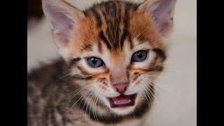 бенгальский кот - питомник кошек Lantana Fly  - бенгальские котята