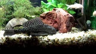 Сомики в моем аквариуме