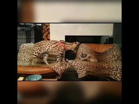 Ares (Serval) vs Xsara (Birman Cat)