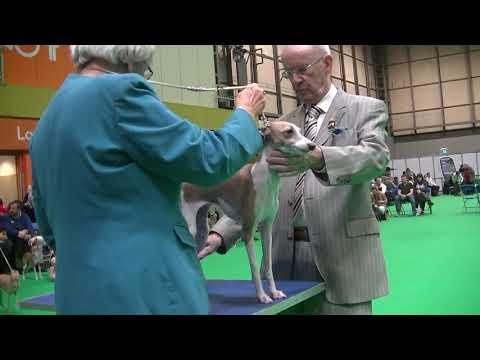 Italian Greyhounds Crufts 2018 d