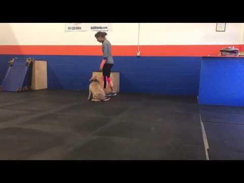 """Confidence Building w/ Goldendoodle """"Stella""""! Florida Dog Trainers. Orlando Dog Training."""