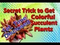 1st. Time Disclosed Secret Trick To Get Colorful Succulent Plant