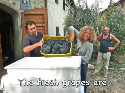 Tuscany: Chianti and Brunello grapes harvest