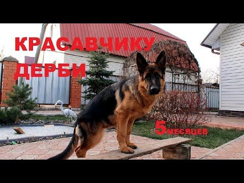 ЛАЙТАТУРМ ДЕРБИ 5 МЕСЯЦЕВ! КОЗЫ-СОБАКИ, СОБАКИ-КОЗЫ))))2 собаки в доме...