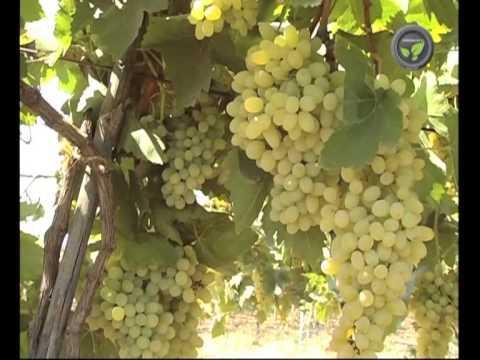 Grape Cultivation - sample clip