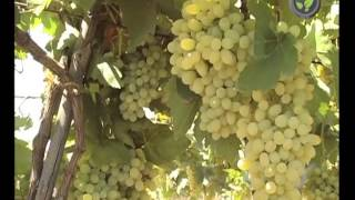 Grape Cultivation - sample clip