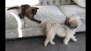 Havanese Dog Tail is an Awesome Cat Teaser!  So Cute & Funny!