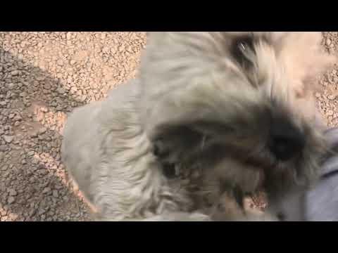 Arlo - 1 Year Old Wheaten Terrier