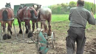 Belgian Draft Horses-ploughing using a Brabantine turn-over plough