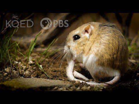 Kangaroo Rats Are Furry, SpringLoaded Ninjas   Deep Look