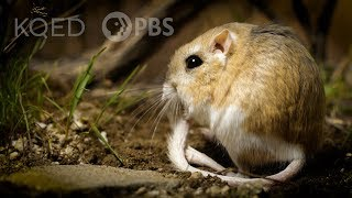 Kangaroo Rats Are Furry, Spring-Loaded Ninjas | Deep Look