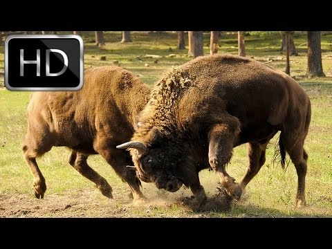 National Geographic Documentary -  Wolves vs Bison - Full Documentary 2016