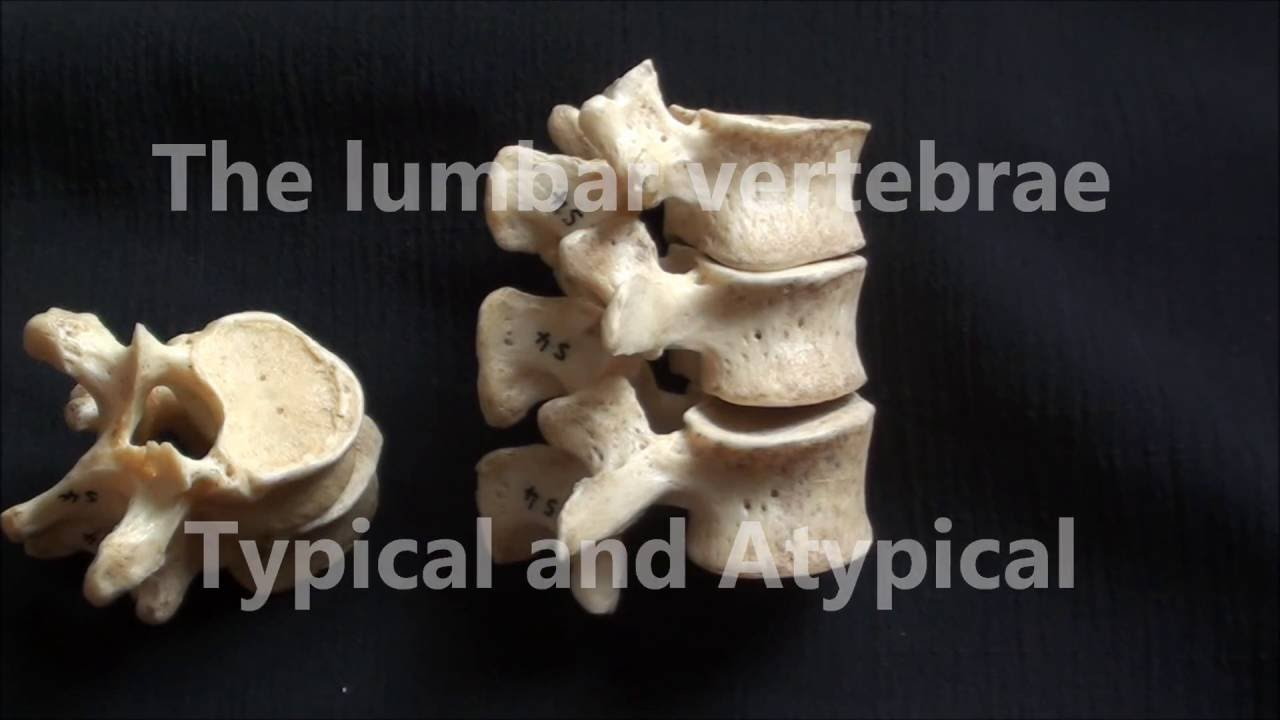 Human Anatomy Videos Lumbar Vertebrae Typical And Atypical Youtube