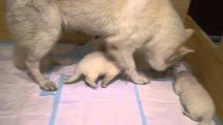 2014年6月2日生まれの ホワイトスイスシェパードの仔犬たち6匹 ...