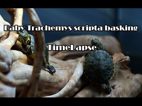 Baby Trachemys scripta basking [ TimeLapse Video]