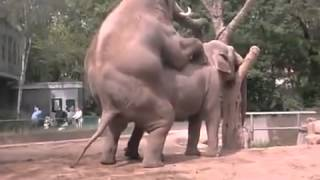 Repeat youtube video Sexo Entre Elefantes. Apareandose