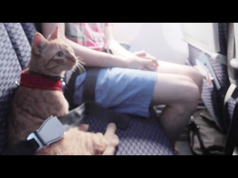 Cat Flies in Airplane Seat Like Person