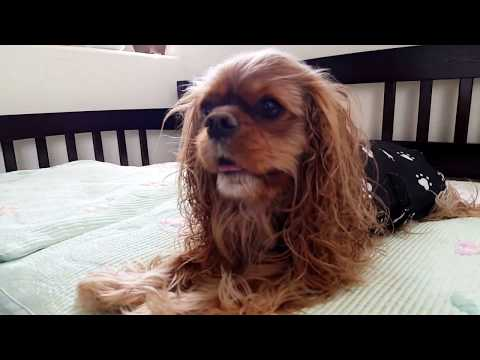 Ruby Cavalier King Charles Spaniel - Going crazy after a bath