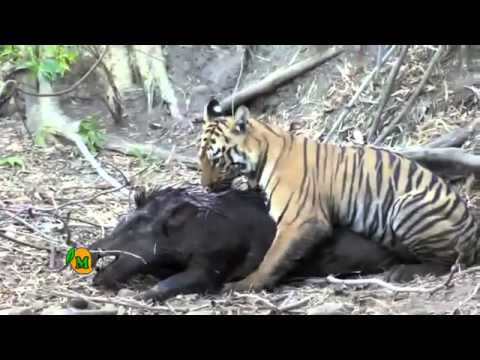 Young Tiger Ambushes Huge Wild Boar