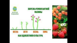 Обрезка ремонтантной малины / Выращивание малины как однолетней культуры и как двухлетней