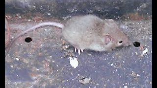 Mouse in my house thumbnail