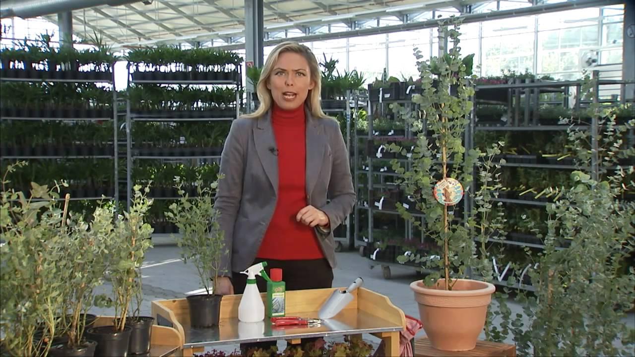 BALDUR Garten Winterharter Eukalyptus &39;Azura®&39;   YouTube