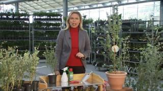 BALDUR-Garten: Winterharter Eukalyptus