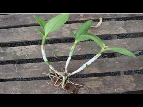 Curso Cultivo de Orquídeas - Mudas de Orquídeas