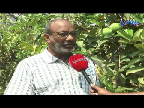 Success story of High density Planting in Taiwan Guava - Express TV