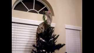 Spotted Genet playing in the Christmas Tree