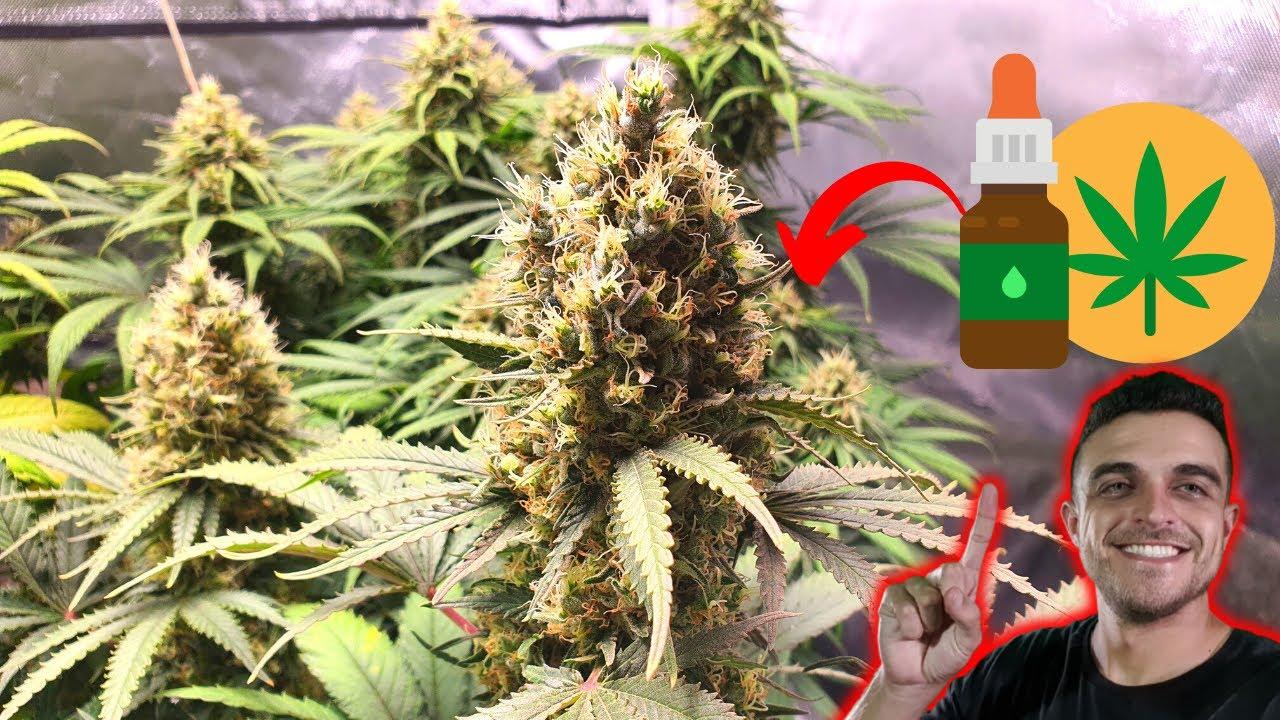 Como plantar C4NN4BIS terapêutica