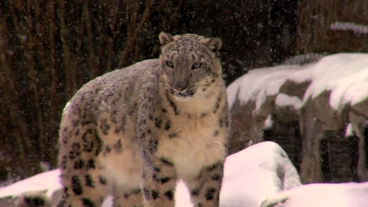 Polar Bears And Snow Leopards Play In The Snow
