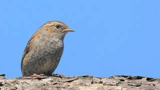 Голоса птиц Как поет Завирушка лесная Prunella modularis