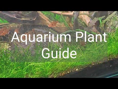 Aquarium Plant Guide Eleocharis parvula