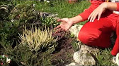Заказать вересковые растения эрика для дома и дачи по выгодной цене в украине. Предлагаем вам большой ассортимент растений эрика в интернет.