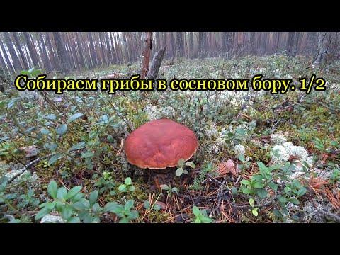 Собираем грибы в сосновом бору. 1/2