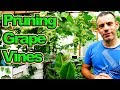 Pruning And Thinning The Grape Vines