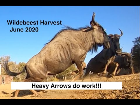Bow Hunting a Venison Wildebeest June 2020 #theafricanallureoutdoors