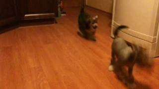 Щенки китайской хохлатой собаки д.р. 03.02.2010