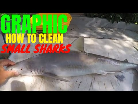 HOW TO CLEAN A SMALL SHARK ( ATLANTIC SHARPNOSE)