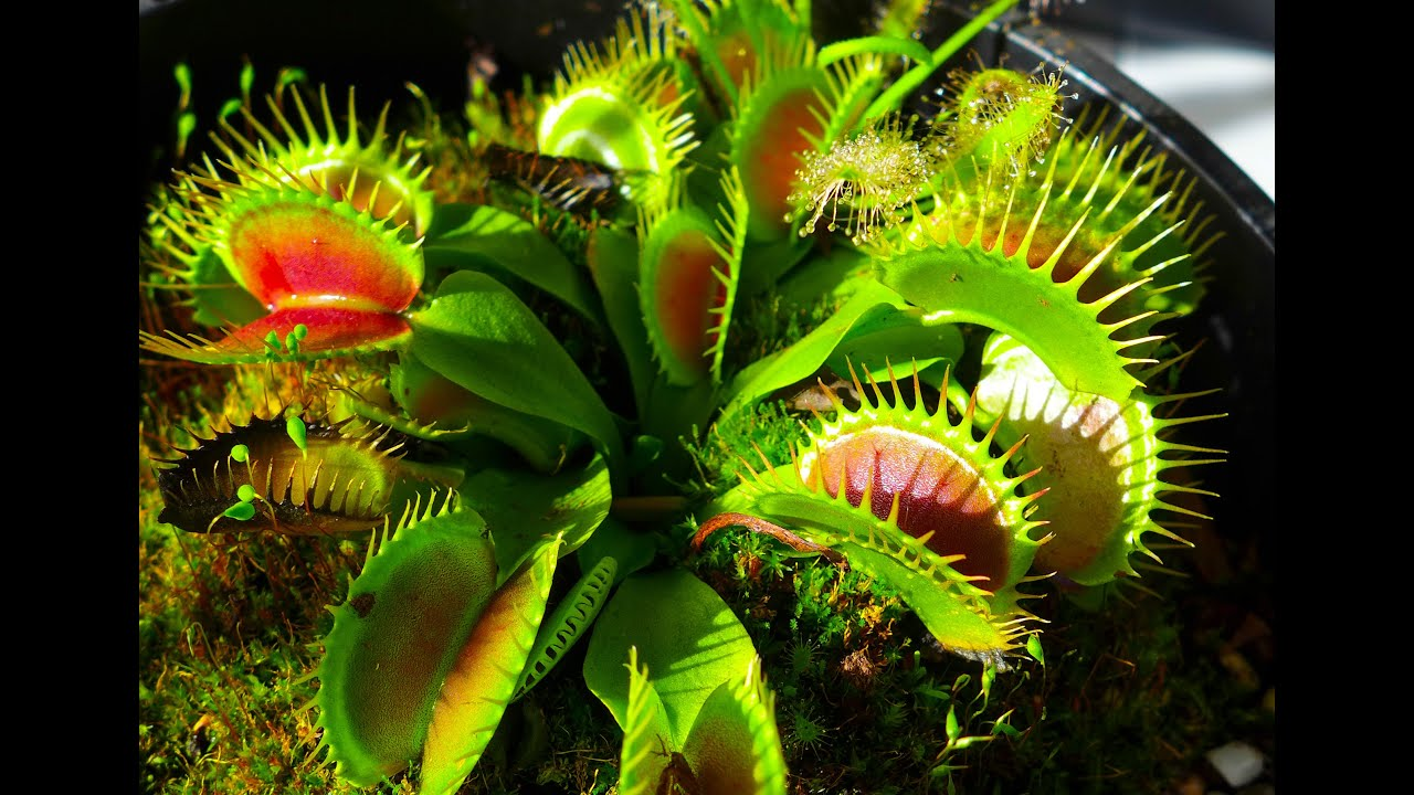 On the Earth there are carnivorous plants that can eat a person