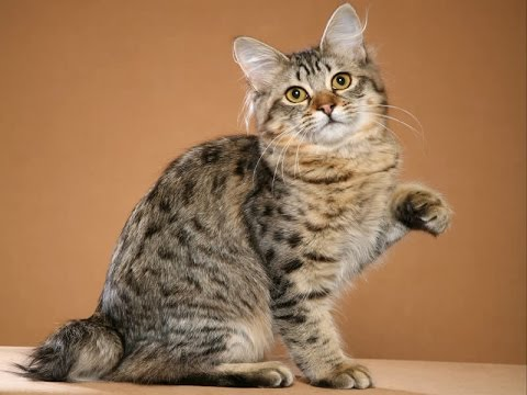 American Bobtail Cat Breed | American Bobtail Information and Temperament and More