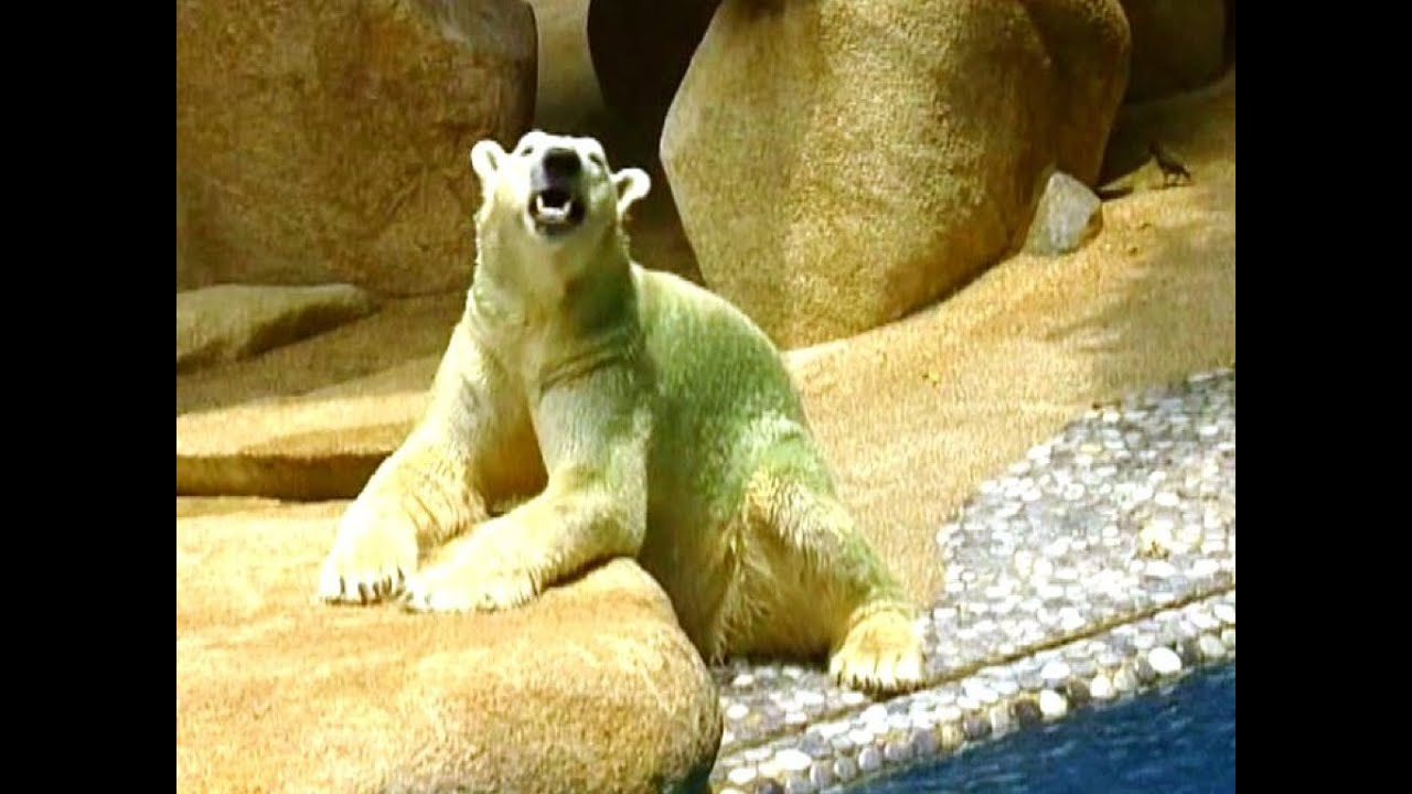 Green Haired Polar Bear