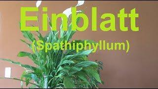 Einblatt Spathiphyllum pflege gießen düngen vermehren Standort Blüte Scheidenblatt