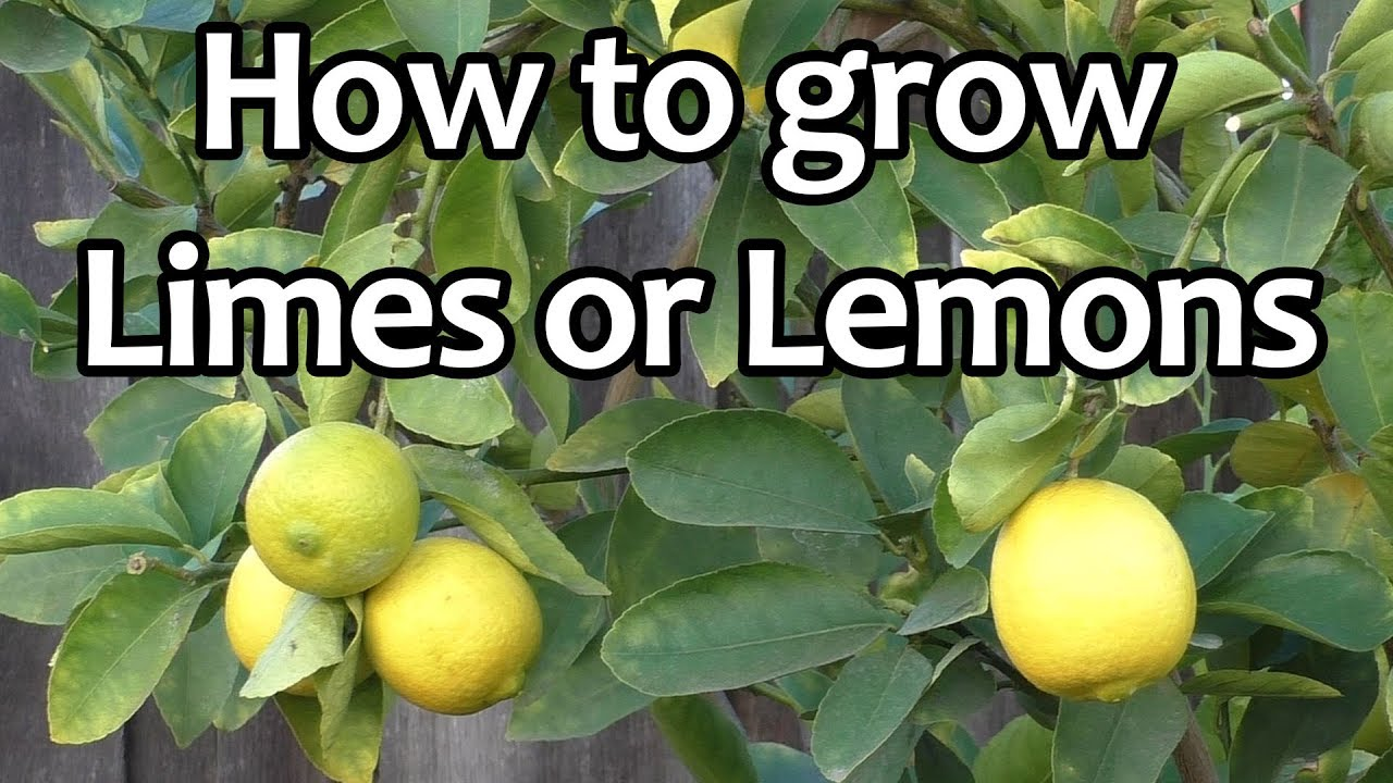 Lemon Or Lime Tree Home Design Ideas