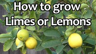 Growing Lime: The best limes to grow in your garden!